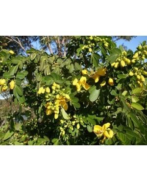 Cassia spp